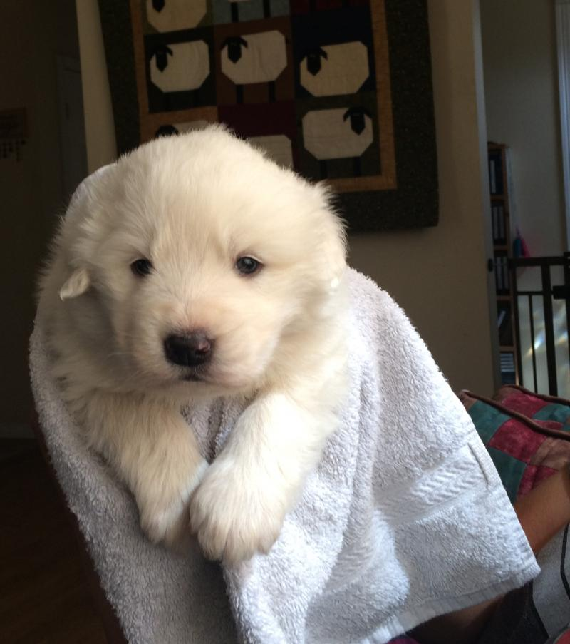 pyrenean mountain dog for sale